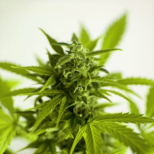 CannabisSoftwareFlower03.jpg