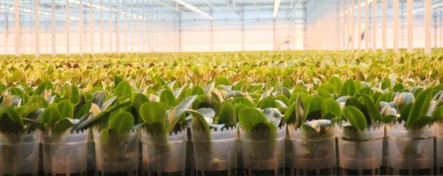 Agriware Grower Software - Potted Plant Grower Phalaenopsis