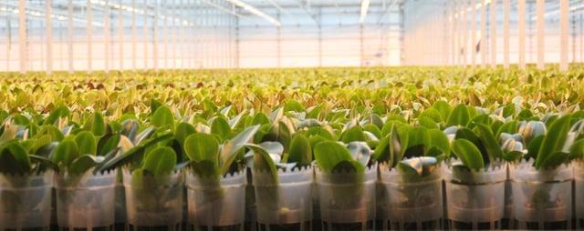 Mprise Indigo - Agriware - Young Plant Phalaenopsis 2 .jpg