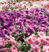 Onze software ondersteunt kwekers die perkgoed opkweken en/of afkweken